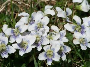 white violets 2