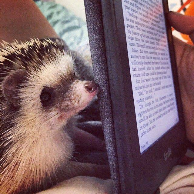 Clementine the hedgehog is curious about e-readers.