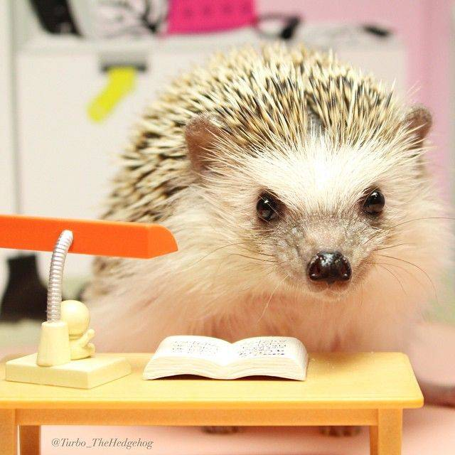 Turbo the hedgehog reads at his desk.