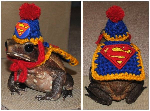 A frog in a Superman costume, because the world is a glorious place and bookish pet costumes exist for all kinds of animals.