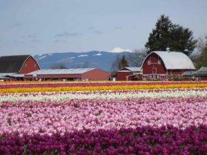 Rows of tulips in front of barns with Mount Baker in the background